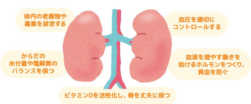 腎臓の働き 体内の老廃物や毒素を排泄する・からだの水分量や電解質のバランスを保つ・血圧を適切にコントロールする・ビタミンDを活性化し、骨を丈夫に保つ・血液を増やす働きを助けるホルモンをつくり、貧血を防ぐ